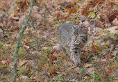 picture of bobcat  - Bobcat Kitten  - JPG