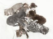 image of baby cat  - A heap of cat is cuddly babies on their mother seven cat babies - JPG