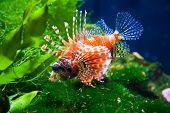 foto of lion-fish  - close - JPG