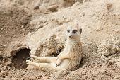 picture of fussy  - Slender tailed meerkat or suricate Suricata suricatta - JPG