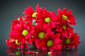 picture of chrysanthemum  - beautiful bouquet of red chrysanthemums on a black background - JPG
