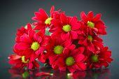 foto of chrysanthemum  - beautiful bouquet of red chrysanthemums on a black background - JPG