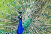 picture of peahen  - Beautiful Peacock Tail animal colorful walking indian - JPG