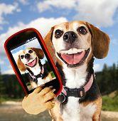 stock photo of pooch  - a cute beagle looking at the camera - JPG
