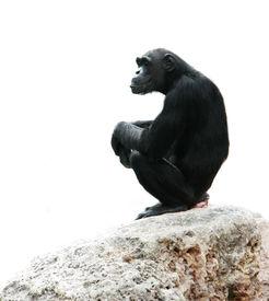 stock photo of chimp  - chimp sitting on rock isolated over white - JPG