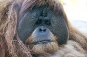 picture of orangutan  - Orangutan male at San Diego Zoo - JPG