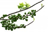 picture of weeping  - Ficus celebensis  - JPG