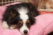 stock photo of australian shepherd  - Miniature Australian Shepherd rests on a pink pillow with a forlorn look on his face - JPG