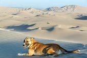 stock photo of buggy  - Dog on a sand dune near Huacachina Peru with a dune buggy in the background - JPG