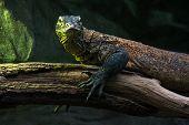 stock photo of komodo dragon  - Portrait of a Komodo dragon  - JPG