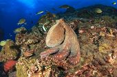 stock photo of biodiversity  - Big Red Octopus on coral reef in ocean - JPG