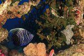 stock photo of angelfish  - Juvenile Emperor Angelfish hides in coral reef - JPG