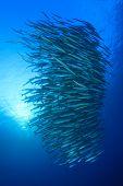 pic of shoal fish  - Barracuda Fish shoal - JPG