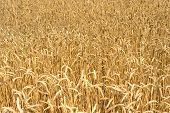 picture of fall-wheat  - Wheat field - JPG