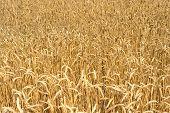 pic of fall-wheat  - Wheat field - JPG