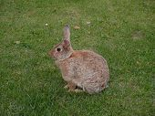 stock photo of wild-rabbit  - wild rabbit stuff on the green meadow - JPG