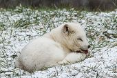 picture of arctic fox  - A lone Arctic Fox in a winter scene - JPG