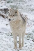 foto of horrific  - A lone Arctic Wolf in the winter - JPG