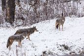 picture of horrific  - A pack of coyotes in a winter landscape - JPG