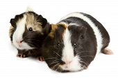picture of guinea pig  - Guinea pig little pet rodent - JPG