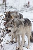 stock photo of horrific  - A pack of Grey Wolves in winter - JPG