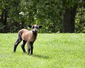 stock photo of spring lambs  - Barbados blackbelly sheep lamb.  Hair lamb utilized for meat. ** Note: Visible grain at 100%, best at smaller sizes - JPG