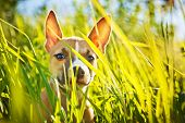 pic of american staffordshire terrier  - the puppy of the American Staffordshire terrier sits in a grass - JPG