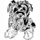 picture of schnauzer  - Sweet dog Miniature Schnauzer breed hand drawing vector - JPG