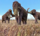image of mammoth  - An illustration of a group of Woolly Mammoths feeding on wild grass in an ice age grassland during an autumn feast - JPG