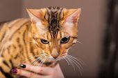 foto of bengal cat  - Portrait of bengal cat close - JPG