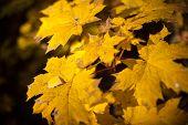 stock photo of mm  - Beautiful autumn yellow leaves maple - JPG