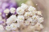 picture of small-flower  - Gypsophila  - JPG