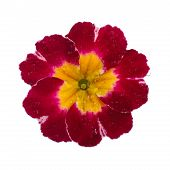 pic of primrose  - pink Primula Primrose with dew drops isolated white background - JPG
