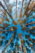 stock photo of coniferous forest  - Canopy Of Tall Pine Trees - JPG
