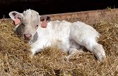 pic of laying-in-bed  - Young calf laying in a bed of straw - JPG