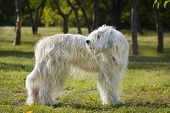 picture of sheep-dog  - South Russian Sheep Dog standing in park - JPG