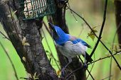 image of blue jay  - Scrub Blue Jay bird eating from a feeder in a tree on a rainy day  - JPG