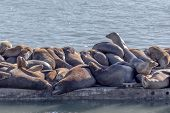 picture of sea lion  - Sea Lions on a crowded jetty in Moss Landing - JPG