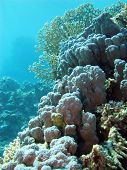 picture of fire coral  - coral reef withe hard corals at the bottom of tropical sea on blue water background - JPG