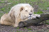 foto of african lion  - Male white South African lion (Panthera leo krugeri)