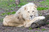 image of african lion  - Male white South African lion (Panthera leo krugeri)