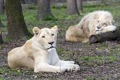 picture of african lion  - White South African lion and lioness  - JPG