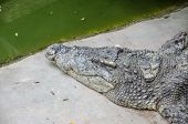 foto of crocodiles  - Big crocodiles resting in a crocodiles farmDangerous alligator in wildlife
