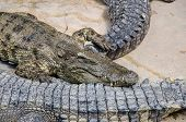 foto of crocodile  - Big crocodiles resting in a crocodiles farmDangerous alligator in wildlife