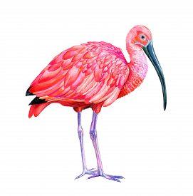 foto of scarlet ibis  - scarlet ibis detailed illustration - JPG