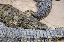foto of crocodile  - Big crocodiles resting in a crocodiles farmDangerous alligator in wildlife  - JPG