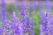 stock photo of salvia  - Beautiful spring background with Salvia farinacea Benth - JPG