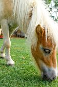 stock photo of horses eating  - horse eat green grass in pasture photo stock - JPG