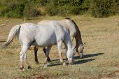 stock photo of pastures  - Two young Lipizzaner on pasture in summer - JPG
