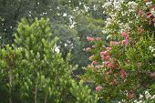 stock photo of crepe myrtle  - Crepe myrtle blooms in morning light - JPG